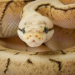 Stock Photo: Spinner Blast Ball Python