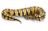 Female Mojave Ball Python — Stock Photo