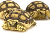 African Spurred Tortoises (Geochelone sulcata) — Stock Photo