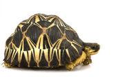 żółw promienisty — Zdjęcie stockowe