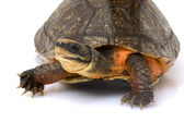 Chinese Golden Coin Box Turtle — Stock Photo