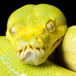 Green tree python — Foto de Stock