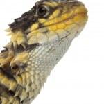 Giant Girdled Lizard — Stock Photo