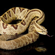 South American rattlesnake — Stock Photo