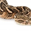 Puff adder — Stock Photo #25856893