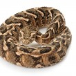Puff adder — Stock Photo #25856913