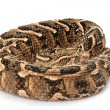 Puff adder — Stock Photo #25856923