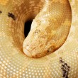 Albino paradox Kenyan sand boa — Stock Photo