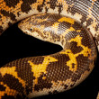 Flame paradox Kenyan sand boa — Stock Photo