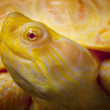 Albino Columbian Slider — Stock Photo