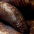 Calabar python — Stock Photo