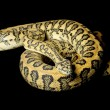 Stock Photo: Red hypomelanistic Jaguar Carpet Python