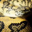 Red hypomelanistic Jaguar Carpet Python — Stock Photo
