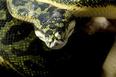 Carpet python and green tree python hybrid — Zdjęcie stockowe