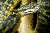 Carpet python and green tree python hybrid — Stock Photo