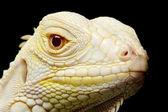 Iguane albinos vert — Photo
