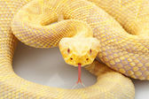 Albino Eastern diamondback rattlesnake — Stock Photo