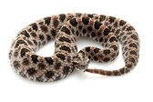 Pygmy rattlesnake — Stock Photo