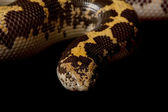 Kenyan sand boa — Stock Photo
