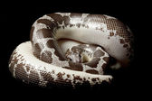 Anerythristic Kenyan sand boa — Stock Photo