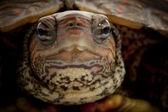 Honduregno legno tartaruga — Foto Stock