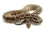 Angolan python — Stock Photo