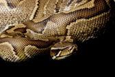 Sumatran red blood python and ball python hybrid — Stock Photo