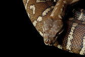 Centralian carpet python — Stock Photo