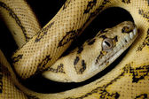 Super jaguar carpet python — Stock Photo