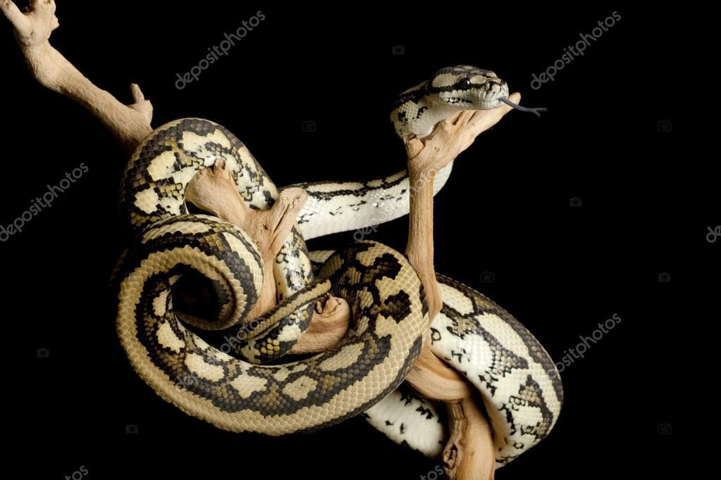 Gestreifte Jaguar costal Teppich python — Stockfoto