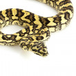 Jungle Carpet Python — Stock Photo