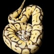 Bumble bee yellow belly ball python — Stock Photo