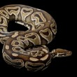 Honey cinnamon ball python — Stock Photo