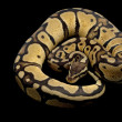 Pastel jungle ball python — ストック写真