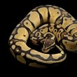 Pastel jungle ball python — Stock Photo