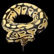 Desert ball python — Stock Photo