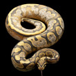 Ghost calico ball python — Stock Photo