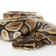 Phantom ball python — Stock Photo