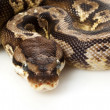 Inferno ball python — Stock Photo