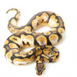 Pastel citrus calico ball python — Stock Photo #25863627