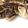 Paradox lesser platinum ball python — Stock Photo