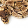 Stock Photo: Stinger bee ball python