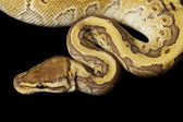 King pin ball python — Stock Photo