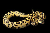 Tiger ball python — Stock Photo