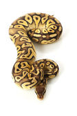 Pastave ball python — Stock Photo