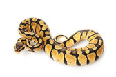 Pastel ball python — Stock Photo