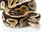 Specter ball python — Stock Photo