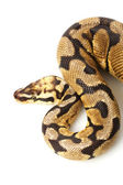 Woma bee ball python — Stock Photo