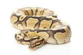 Fire yellow belly ball python — Stock Photo