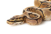 Spider yellow belly ball python — Stock Photo